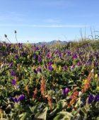 Wildflowers in Ca'n Picafort