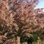 Mauve flowering tree