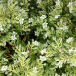 Ciruena flowers