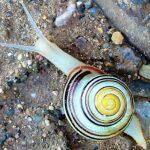 Spanish snail.