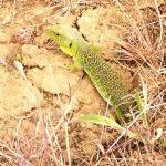Lizard on the Camino
