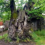 800 year old Chestnut tree