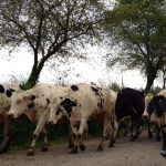 Make way for the dairy cows on the Camino de Santiago!