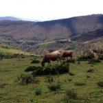 Camino de Santiago Cows
