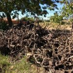 Dead Grape Vines