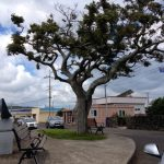 Oldest tree on Jeju Island