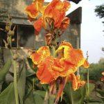 Orange Irises?
