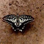 Jeju butterfly