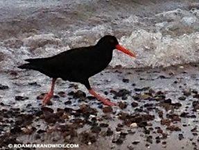 A Rare Black Oystercatcher