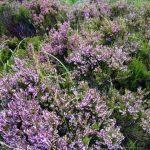 Heather, Isle of Skye