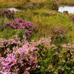 Heather at the Faerie Pools, Isle of Skye