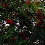 Rowan tree to repel fairies.