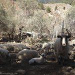 Sheep In Old Agia Roumeli
