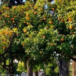 Oranges everywhere in Athens!