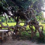 Beautiful tree at the Killing Fields