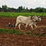 Farmer plowing fields. Koh Dach, Cambodia