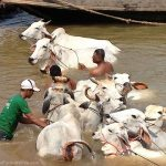 washing cattle in the Mekong River