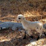 Lamb in Agia Roumeli