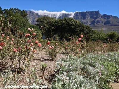 Roses and Table Mountain