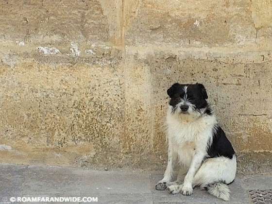 Dog on the Camino de Santiago