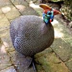 Our guinea hen tour guide.