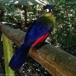 Loerie Bird