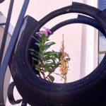 Flower in tire planter.