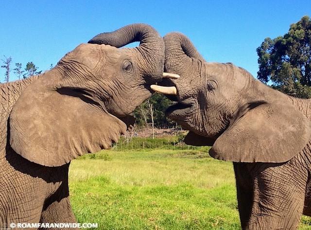 Elephants in Knysna Elephant Park, South Africa