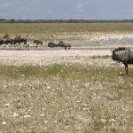 Ostriches, wildebeest and ?