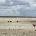 Ostriches and wildebeest