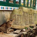 Nepalese cat and baskets for carrying.