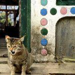 Nepalese cat.