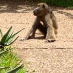Baboon at Victoria Falls