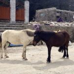 Donkeys in Dhampus