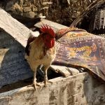 Chicken in Nagarkot