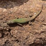 Lizard at Ancient Thera