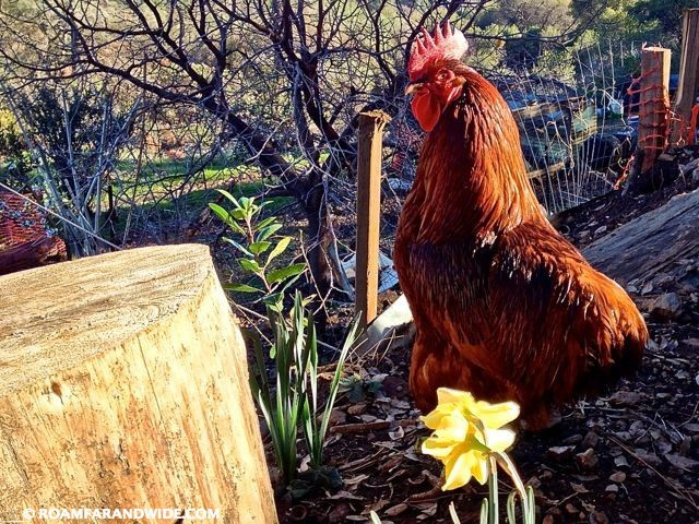 Shiny rooster