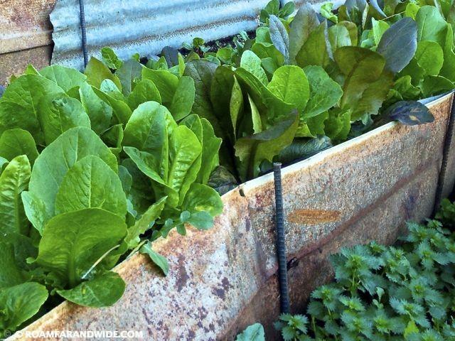 Lettuce is growing!
