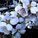 Photo of the Week: Almond Blossoms at Yosemitebear Mountain Farm
