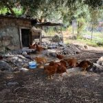 Chickens in Agia Roumeli