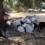 Sheep in Agia Roumeli