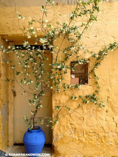 Jasmine growing out of blue pot.