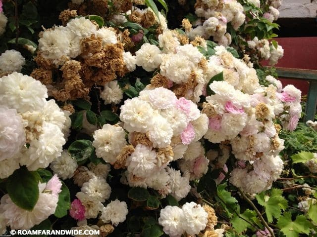 Roses are in full bloom now.