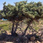 Tree on Gavdos