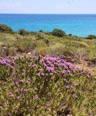 Wild thyme on Gavdos Island