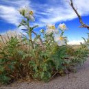 Photo of the Week: Prickly Poppies (Argemone munita) at Mono Lake, California