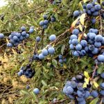 Blue berries that I can't eat!