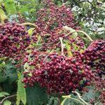 Pretty berries. Currants?