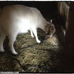 Pregnant goat.