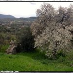 Blossoms in Molivos, Greece